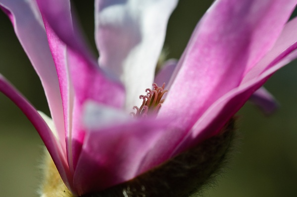 A Magnolia × loebneri by darranl