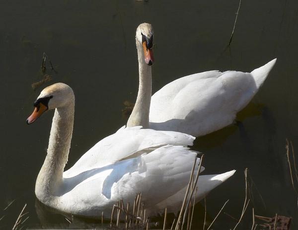 Swans by BobbyK