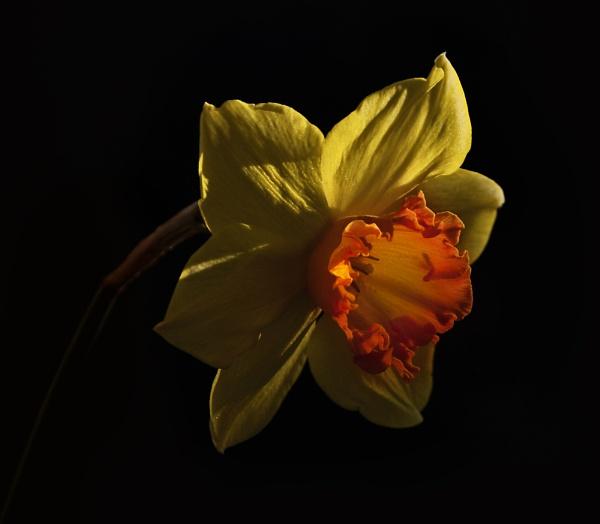 Daffodil by Audran