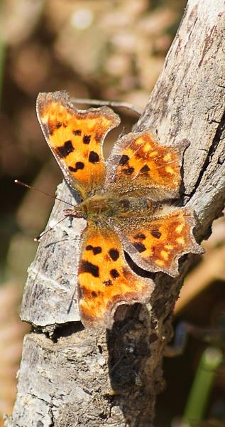Comma Butterfly by Shellio