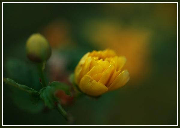 Yellow rose bud by Heffo1