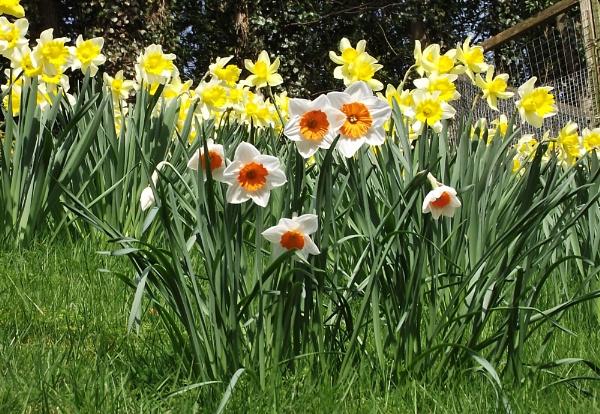 Daffodils by PaulGrindley
