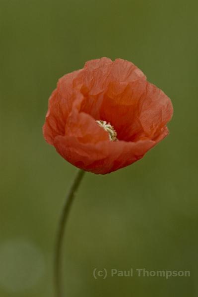Wild Poppy 1 by P_Thompson