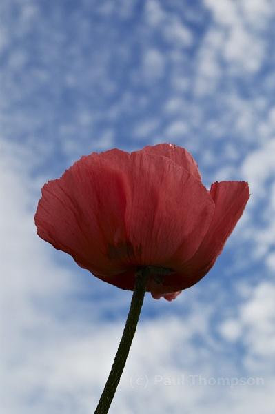 Wild Poppy 2 by P_Thompson