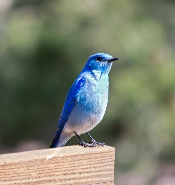 Mountain Bluebird by enricopardo