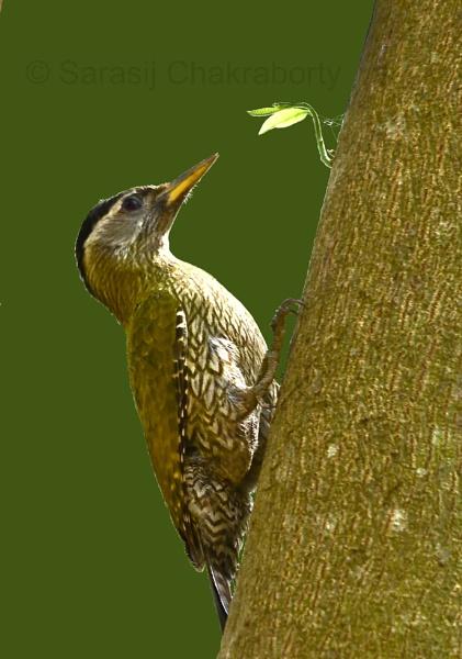 Streak-throated Woodpecker by sarasij