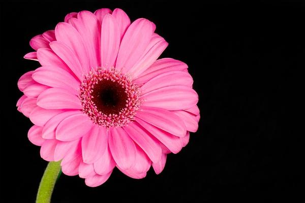 Pink Gerbera by MrsCoops