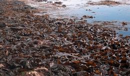 seaweeds(durdle door,Dorset)