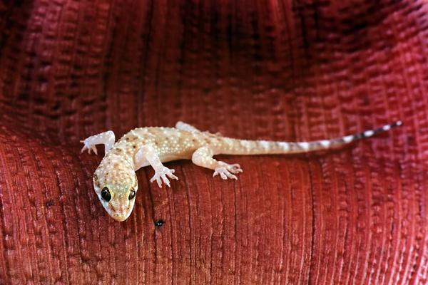Gecko on leaf by aeras
