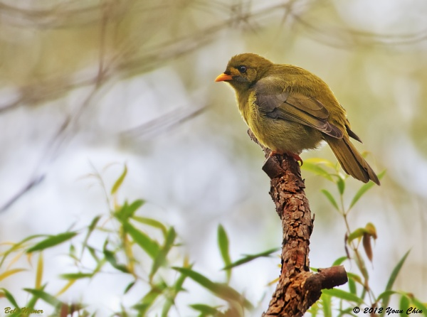Bell Bird by Ycmah