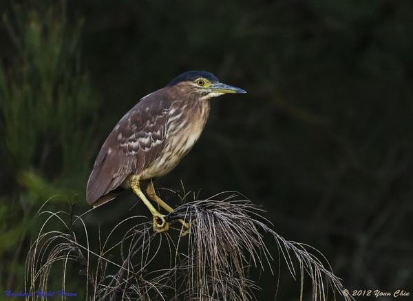 Nankeen Night Heron by Ycmah