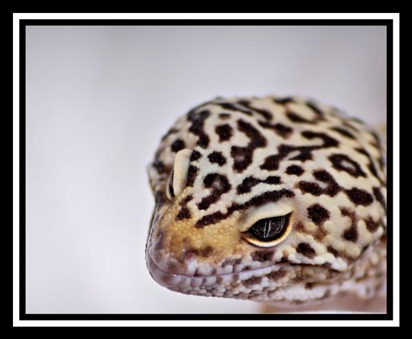 Leopard Gecko by christurner291
