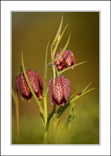 Lady Fritillary by phil_j