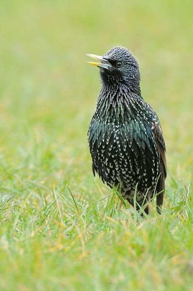 Singing Starling