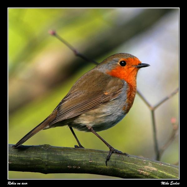 Robin on acer by oldgreyheron