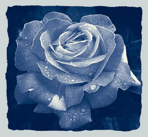 Rose, cyanotype style by jrfoto