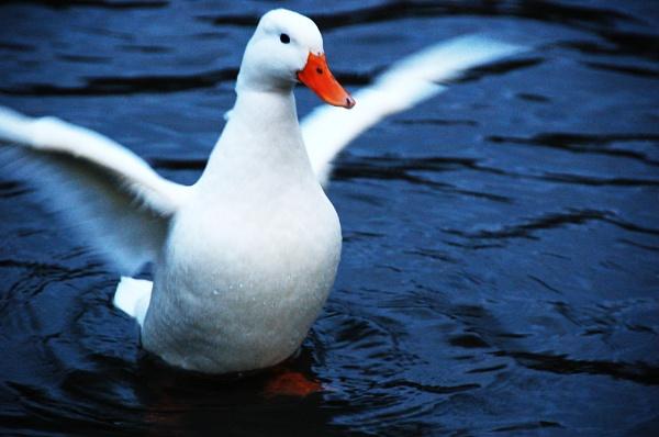 Quack Flap by cymroDan