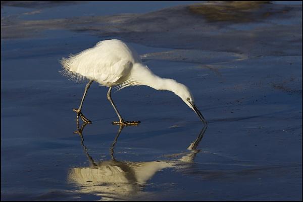 Little Egret by nonac350d