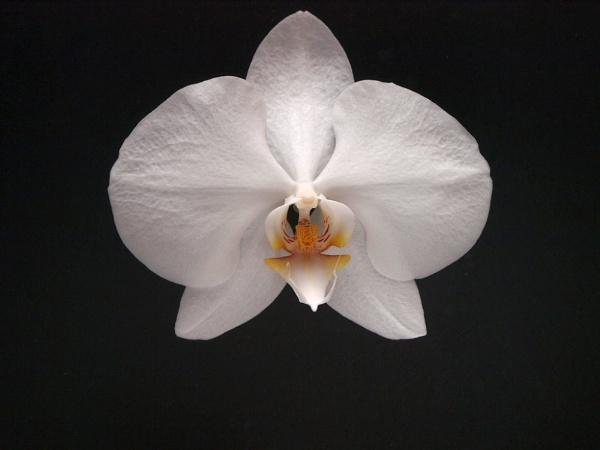 Phalaenopsis by Graham_Rainham