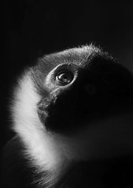 L\'Hoest Monkey by DanG