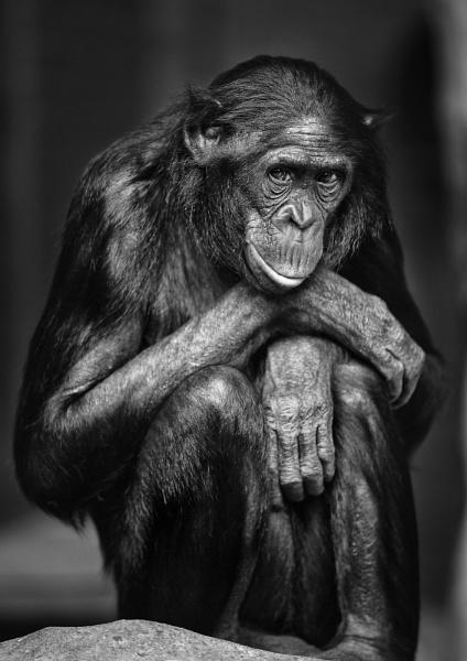 Bonobo by DanG
