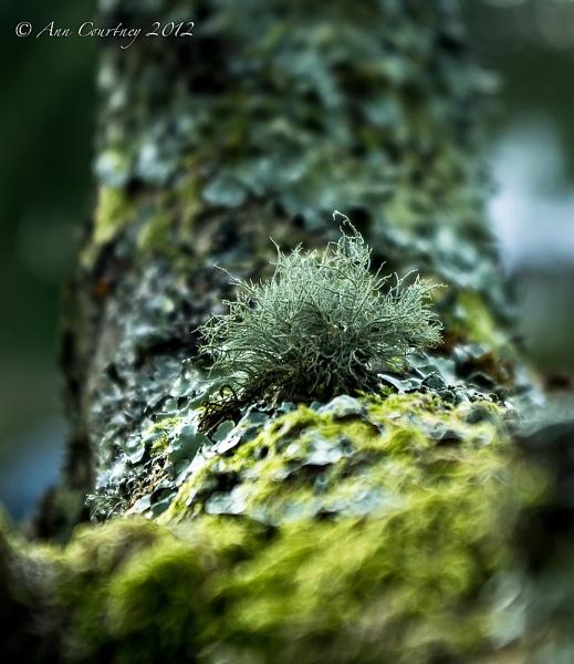 Lichen in the Apple Tree by AnnCourtney