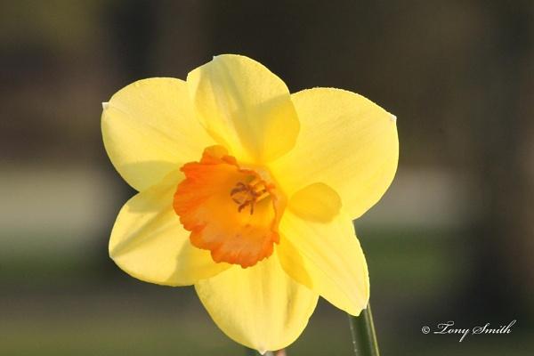 Golden Daffodil by mio2mio