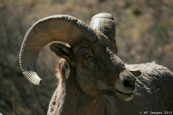 Bighorn Sheep by Harlan