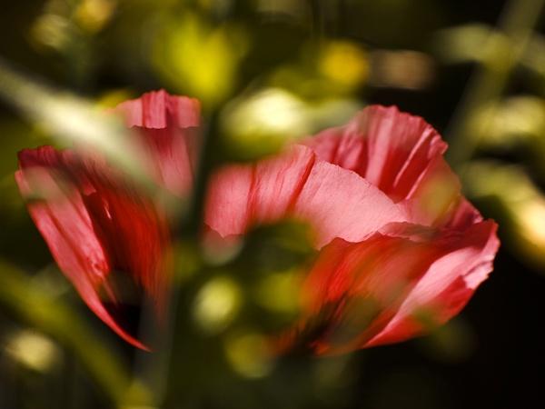 Poppy by camramadbob
