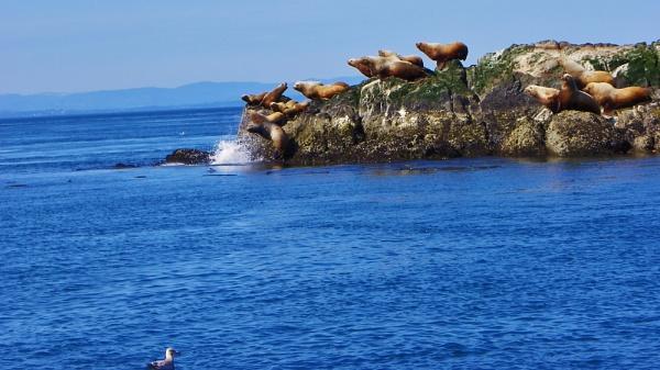 Sea Lions in the San Juans by roddaut