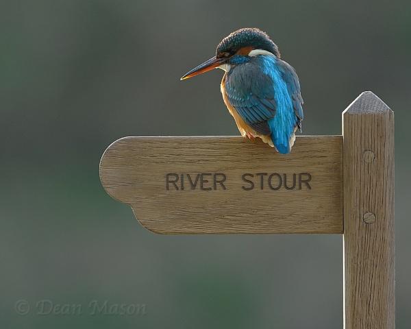 River Stour Kingfisher by WindowonWildlife