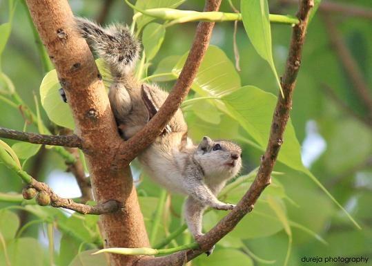 squirrel by Dureja
