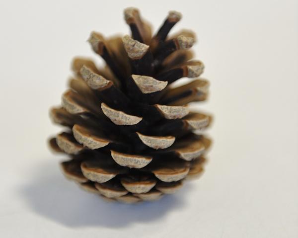 Pine Cone by MTFernandes