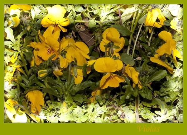 Violas by Irishkate