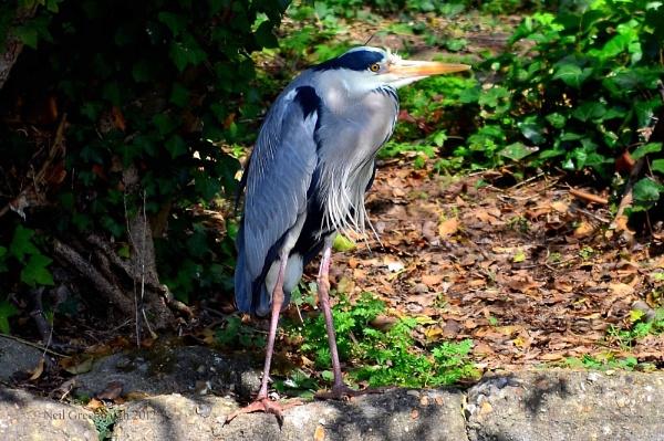 The Heron by greenie