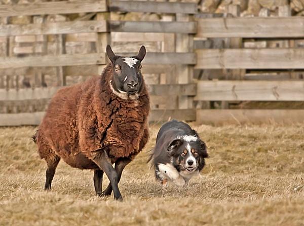 Baa Baa Black Sheep by Hali