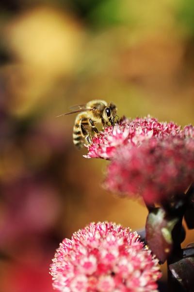 Honey Bee by electricratphotography