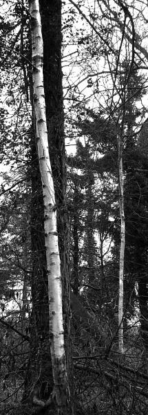 Silver Birch by SimonAlesbrook