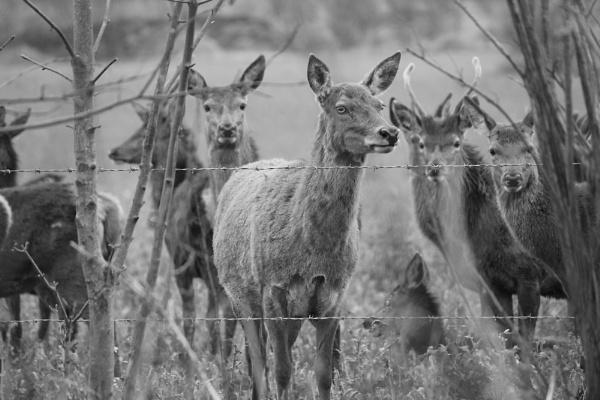 Deer Monochrome by breakawayfromme