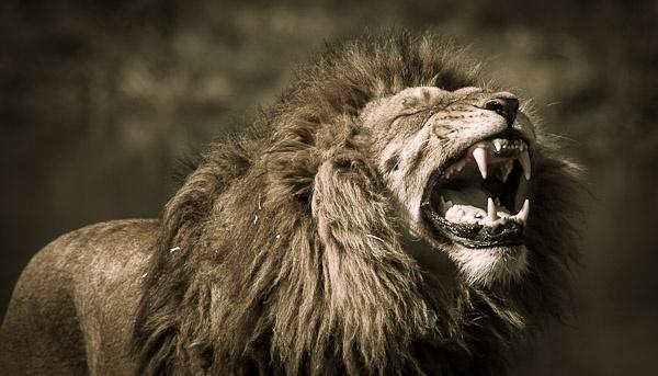 Lion Roar by rotella