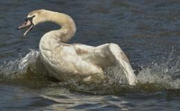 Mute Swan.-Juvenile