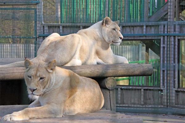 White Lions by oaklea
