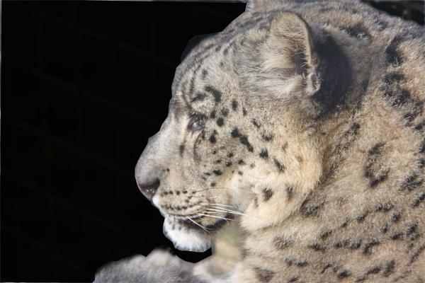Snow Leopard by oaklea