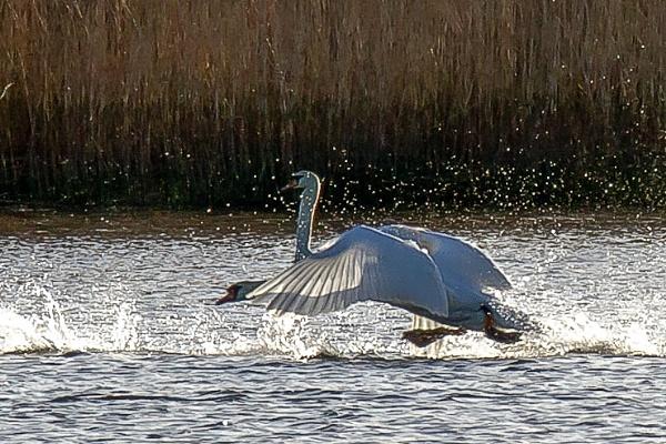 Swan neck by thatmanbrian