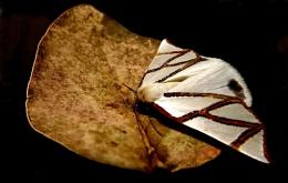 Clara's Satin Moth