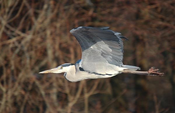 Grey Heron by livinglevels