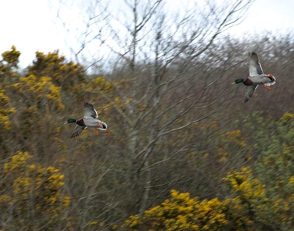 Ducks in flight by carpmanstu