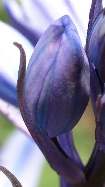 A Bluebell Bud by carpmanstu