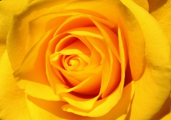 A Rose in the sun by carpmanstu
