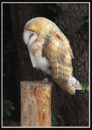 Snoozing Barn Owl by jinglis